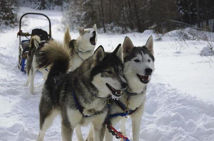 Dog Sledding Adventures in Canada and Alaska